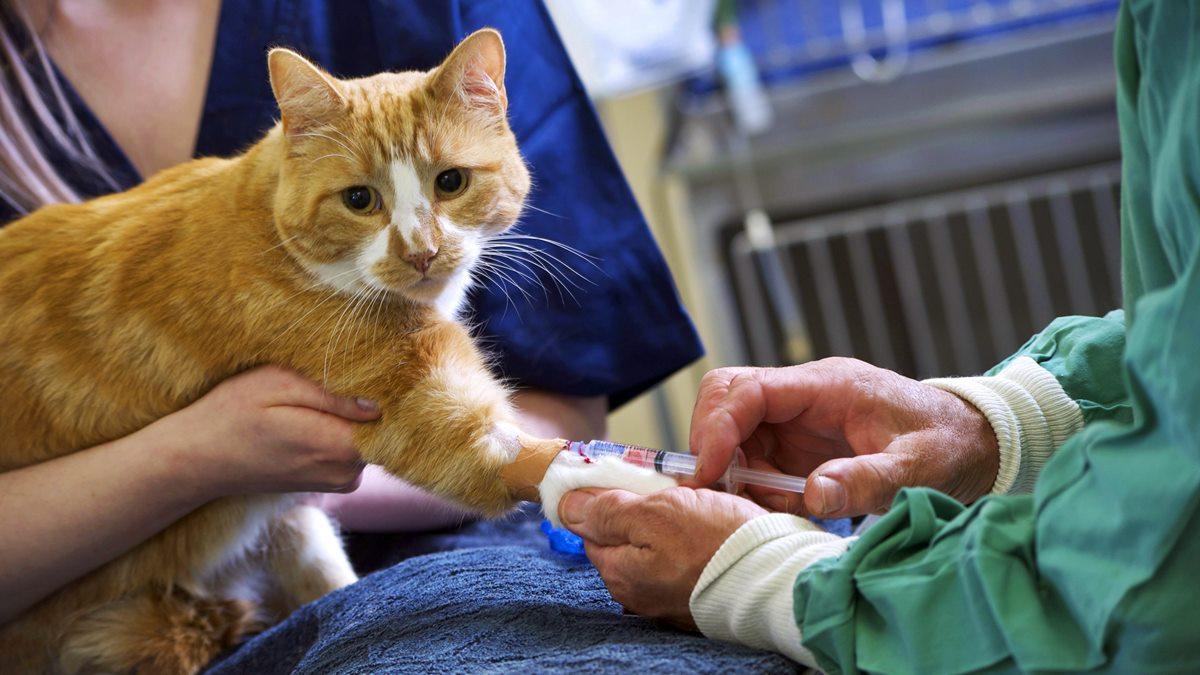 iniezione al gatto