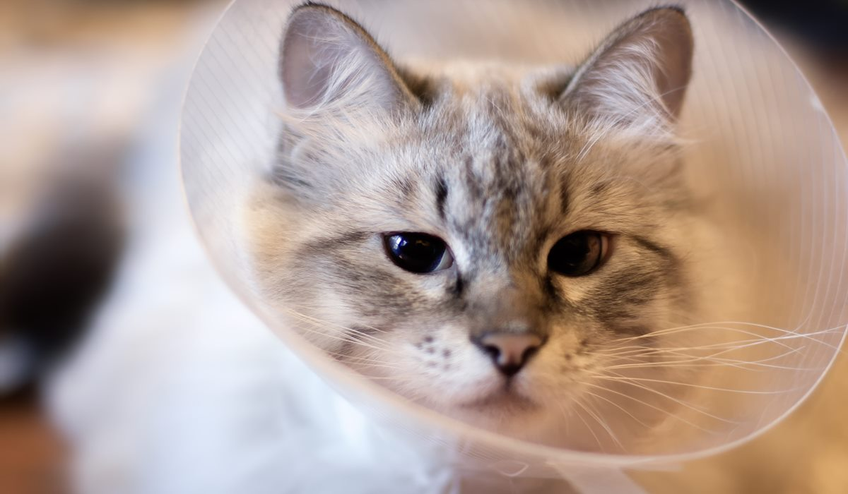 collare elisabettiano per gatti
