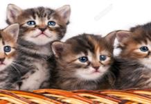 teneri gattini grigi