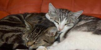 gatti innamorati abbracciati