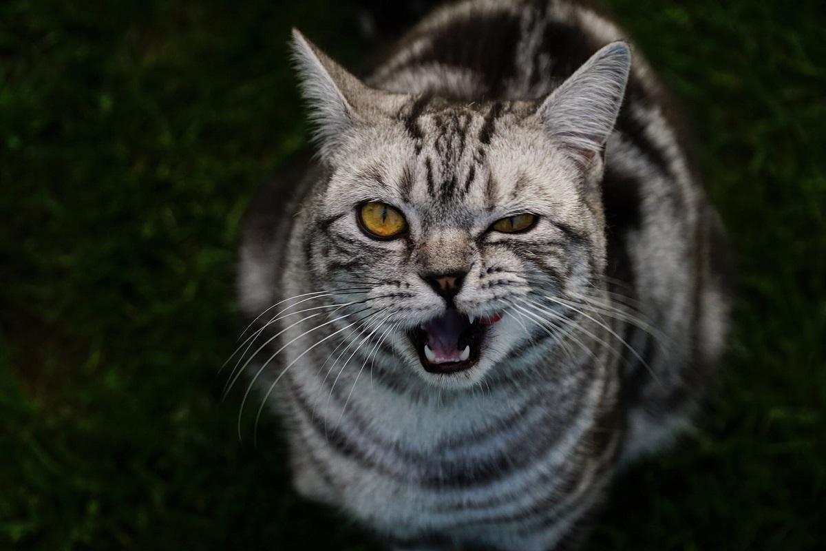 gatto con fastidio a occhio