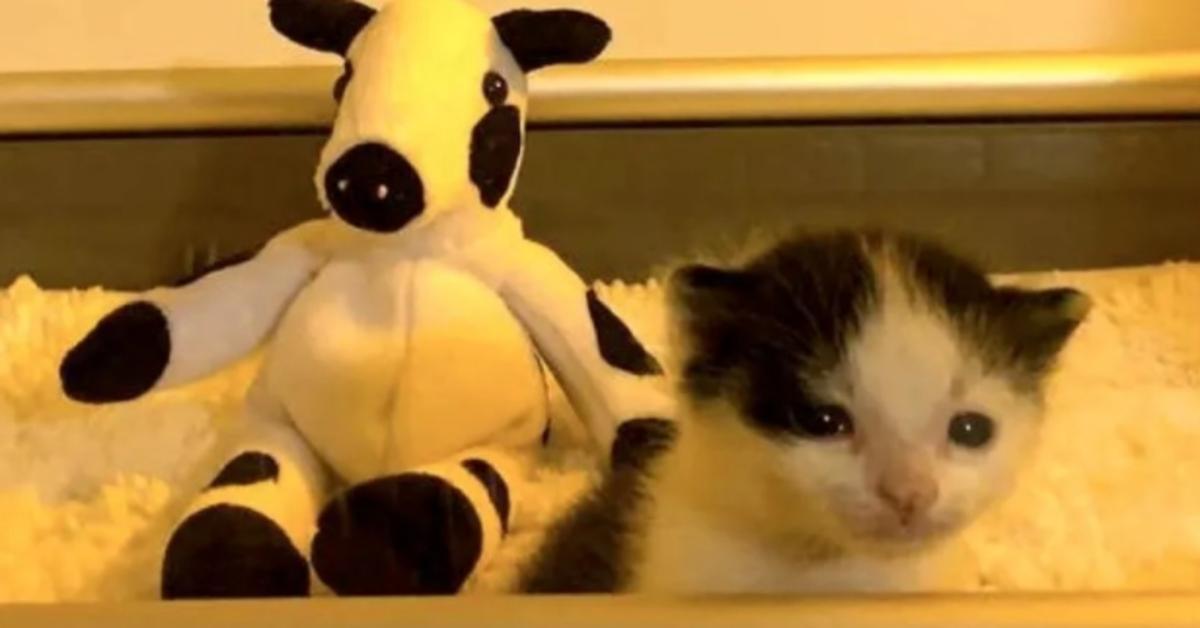 Bo gattino europeo video