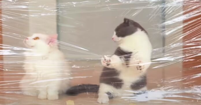 Munchkin gattini video