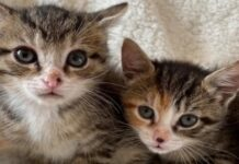 Ferby gattino due zampe video