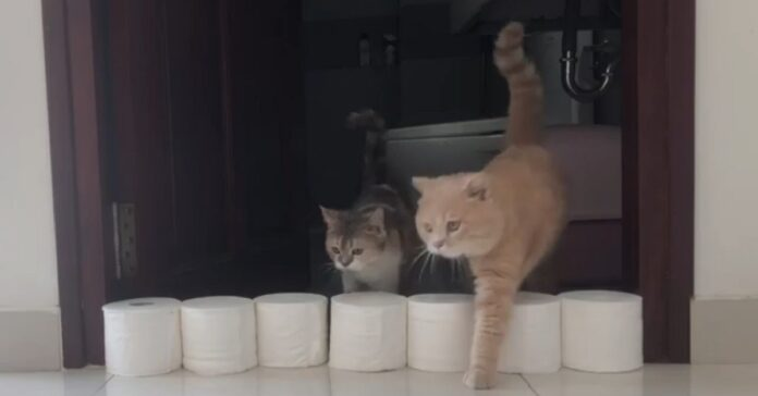 gattini British Shorthair affrontano un muro di carta igienica