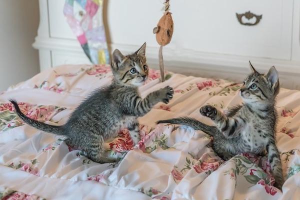 gatto adulto e gioco