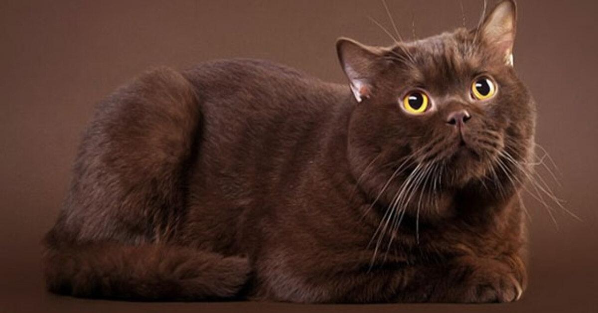 gattini British Shorthair mamma video
