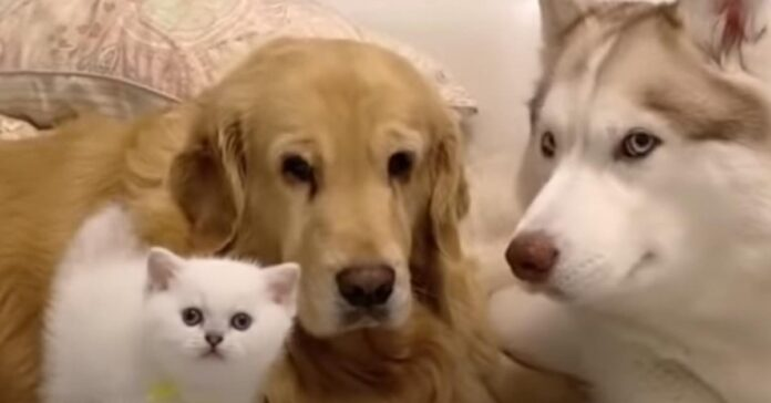 Gatto con Golden Retriever e un Husky