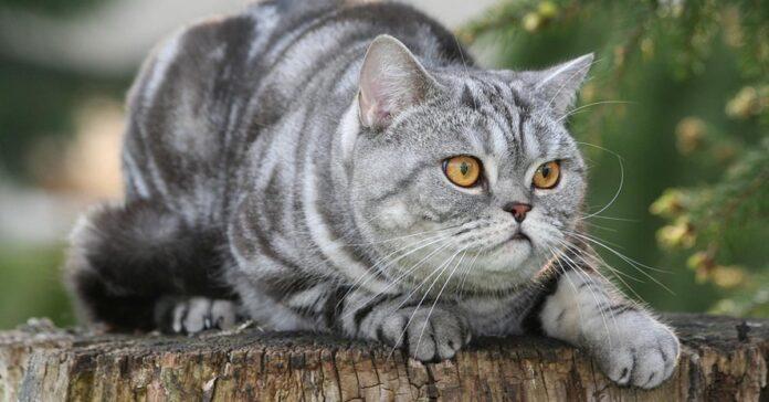 Gatto British Shorthair che osserva