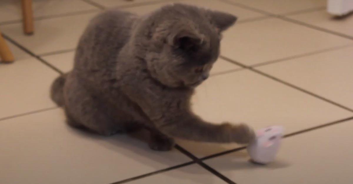 Gatto British Shorthair che gioca