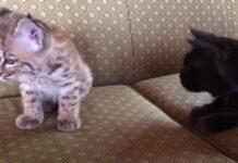Gatto gioca con una lince