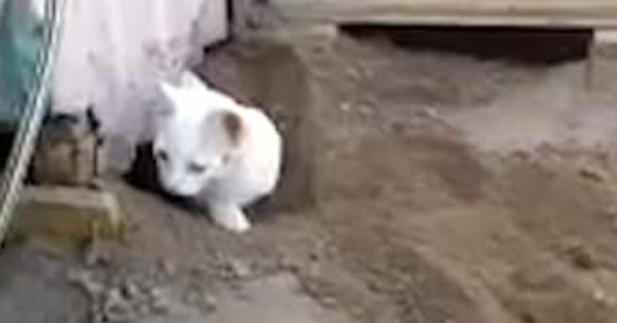 Gattino Pelu coniglietto video