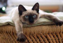 Gattino Siamese sdraiato