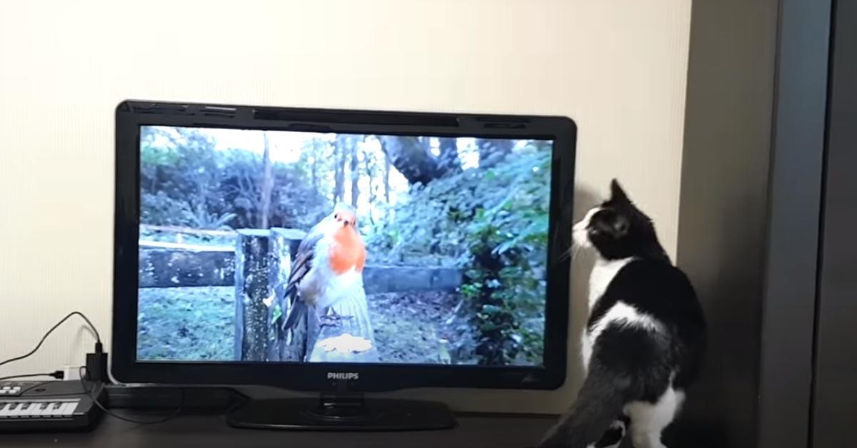 Gatto che guarda la tv