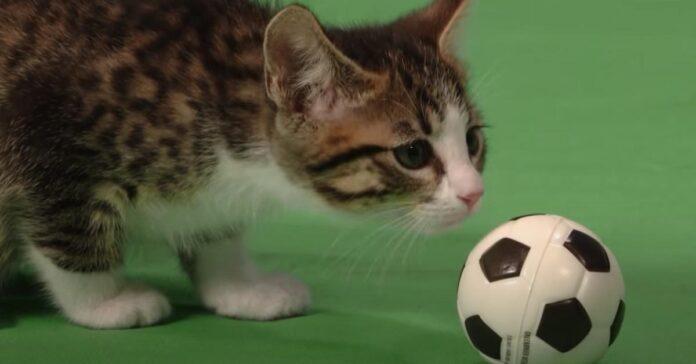 Gatto gioca con una pallina