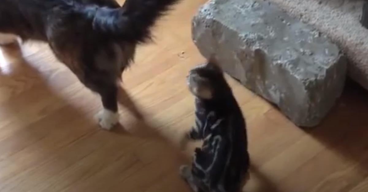 Gatto del Bengala che gioca con un Corgi
