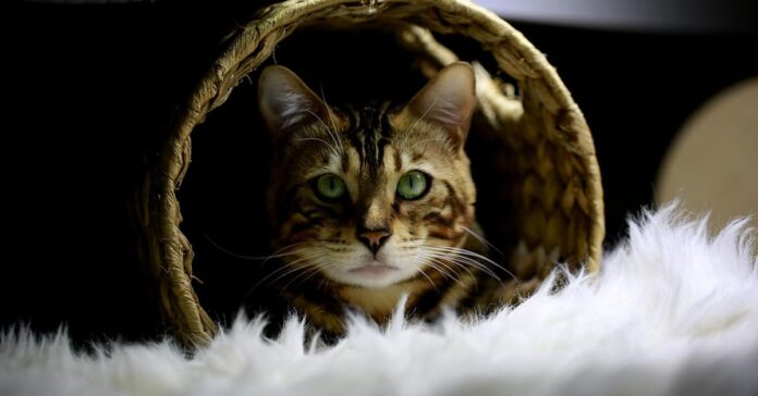 Gatto del Bengala che osserva
