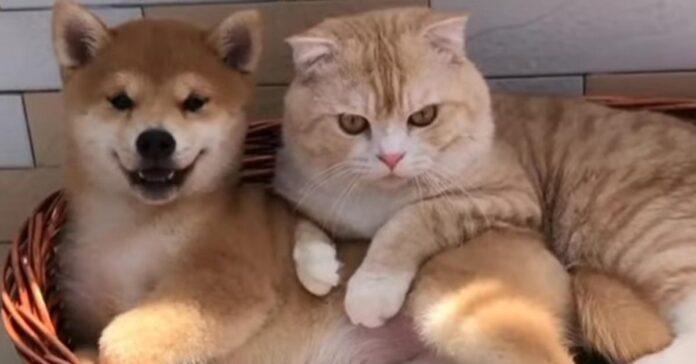 Gatto con uno shiba inu