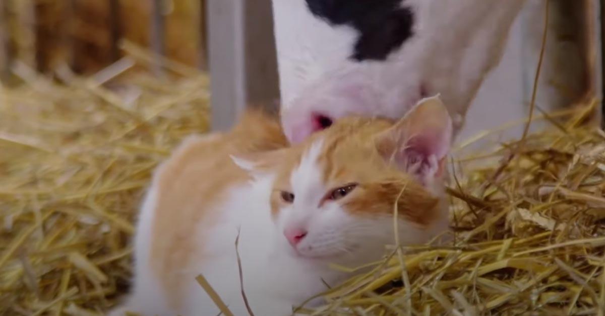Gatto con una mucca