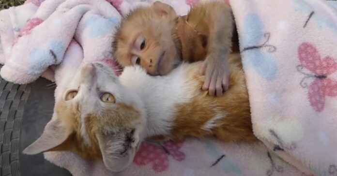 Gatto con una scimmia