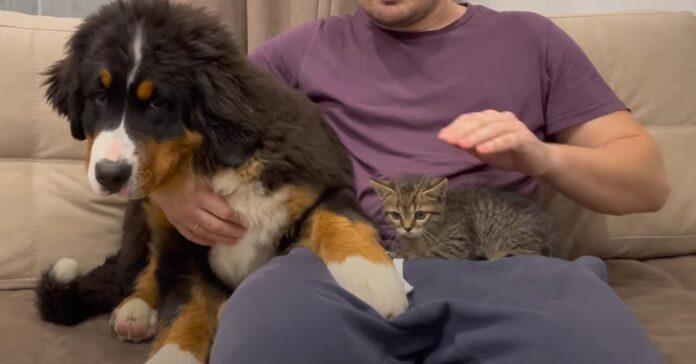Gatto con Bovaro del Bernese