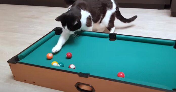 Gatto gioca a biliardo