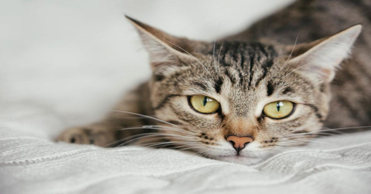 gattino soriano estetista video