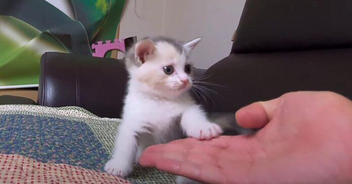 Gattino che batte il cinque