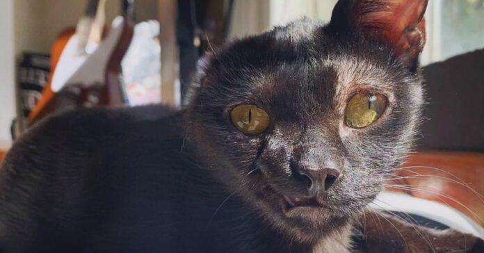 Gatto senza un orecchio