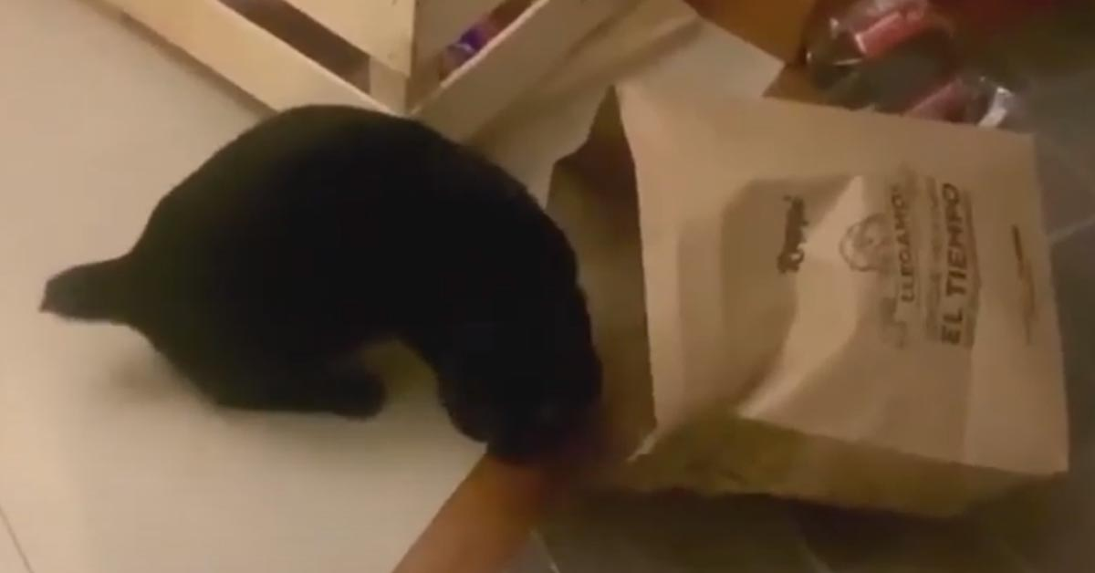 Gatto gioca con una busta