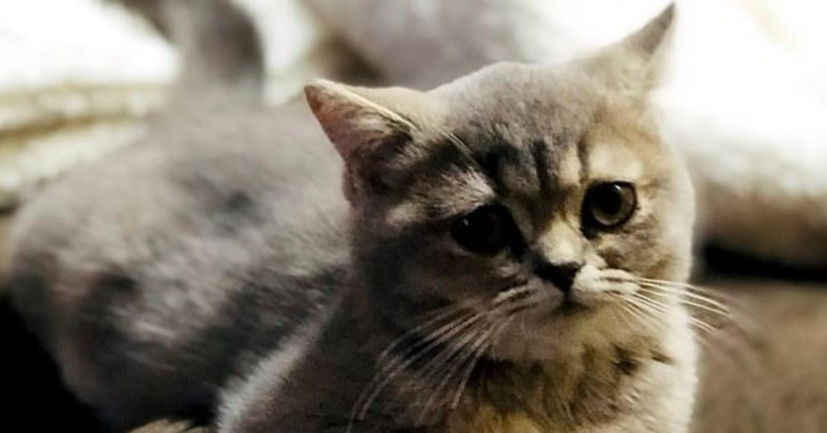 Lala gattina Maine Coon video