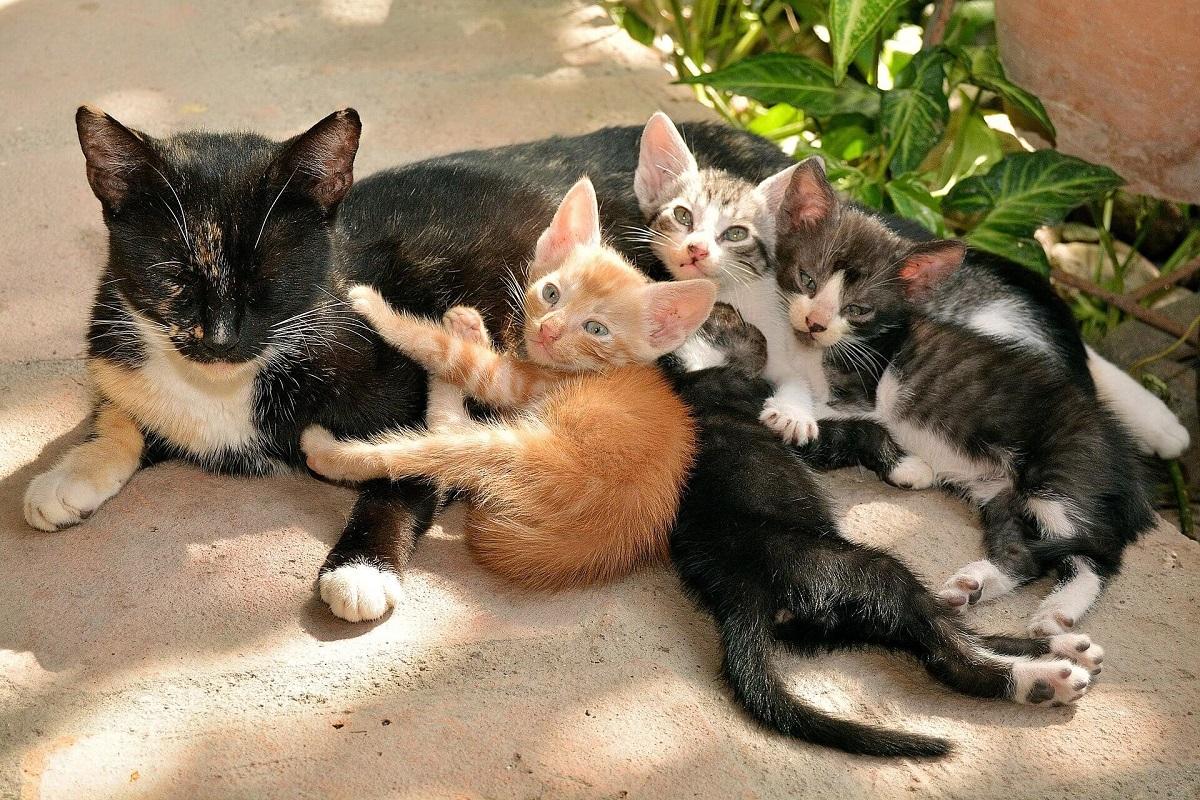 cucciolata di gatti