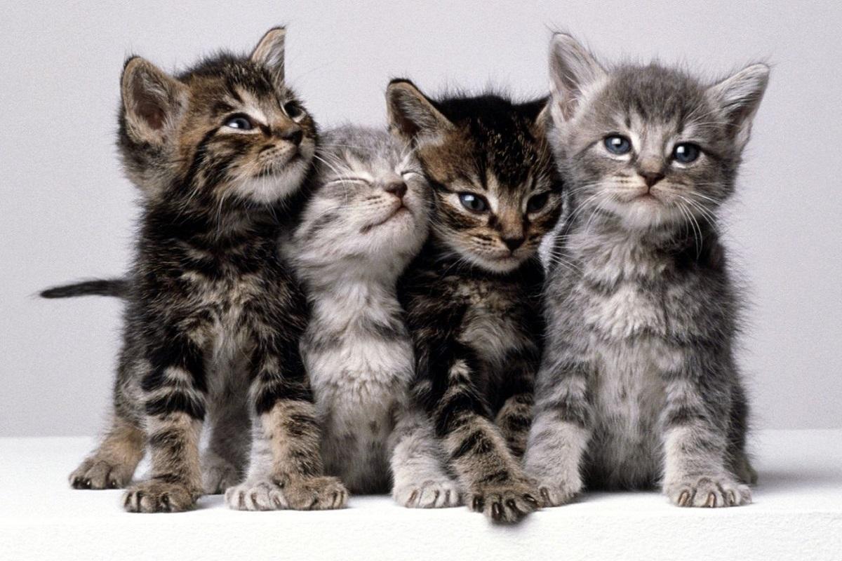 cuccioli di gatto tigrati