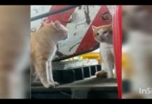 gatto perplesso vede altro gatto simile a lui