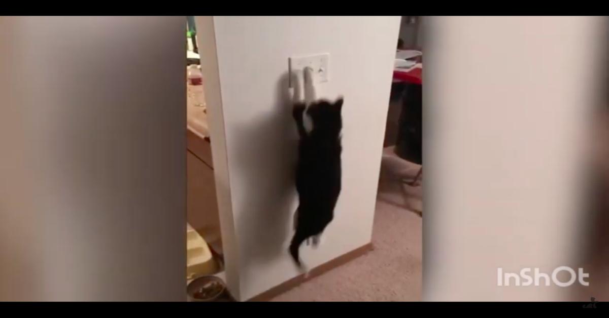 gatto salta sull'interruttore della luce