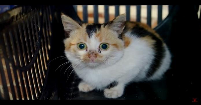 Amelia, gattina tricolore