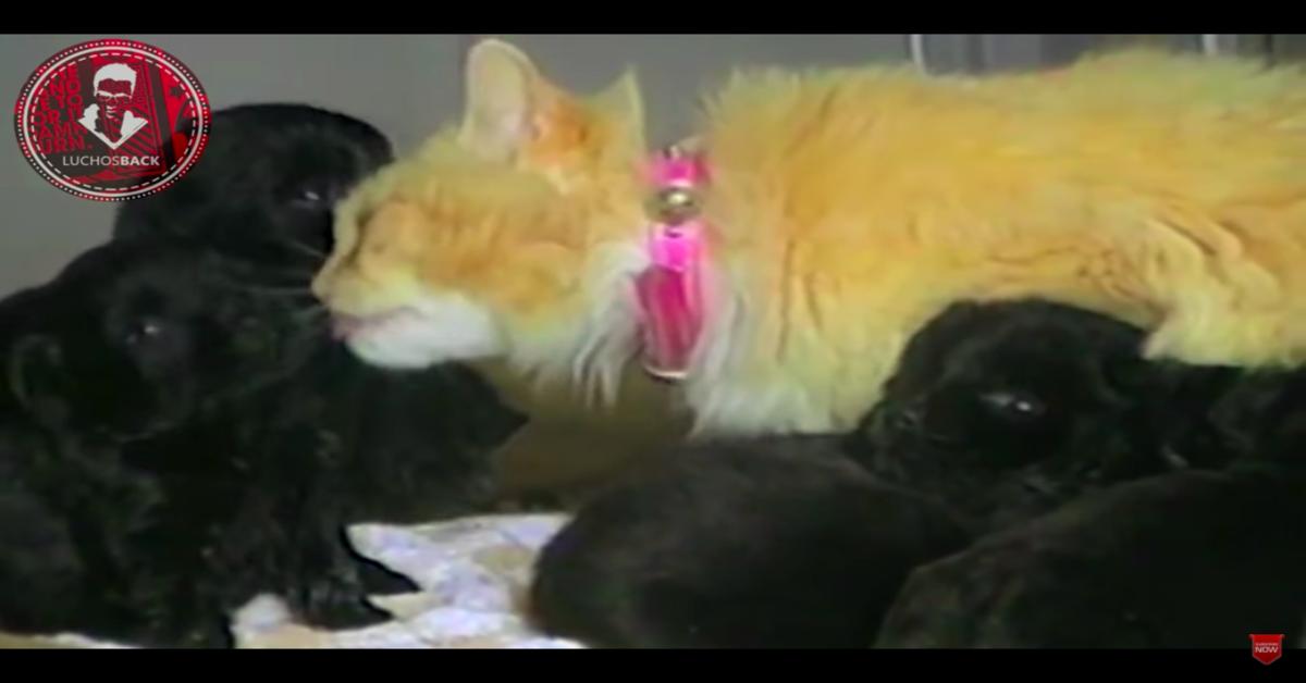 gatta si prende cura di cuccioli rubati