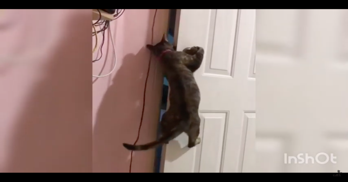 gatto riesce ad aprire la porta per fuggire