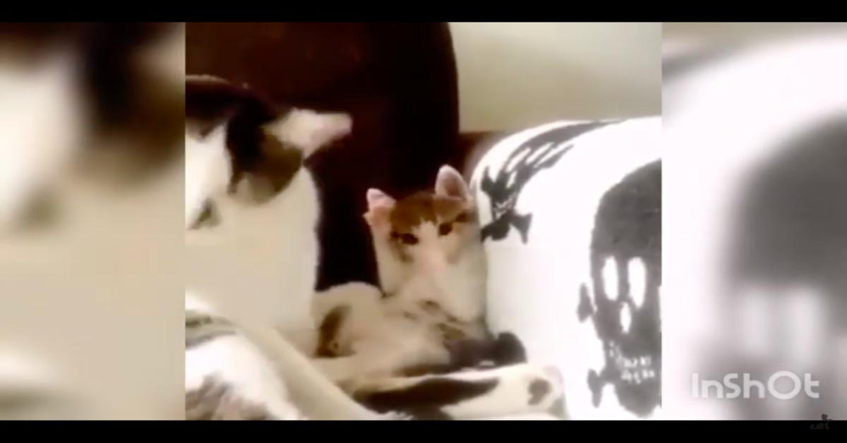 la mamma si lecca e il gattino lo imita