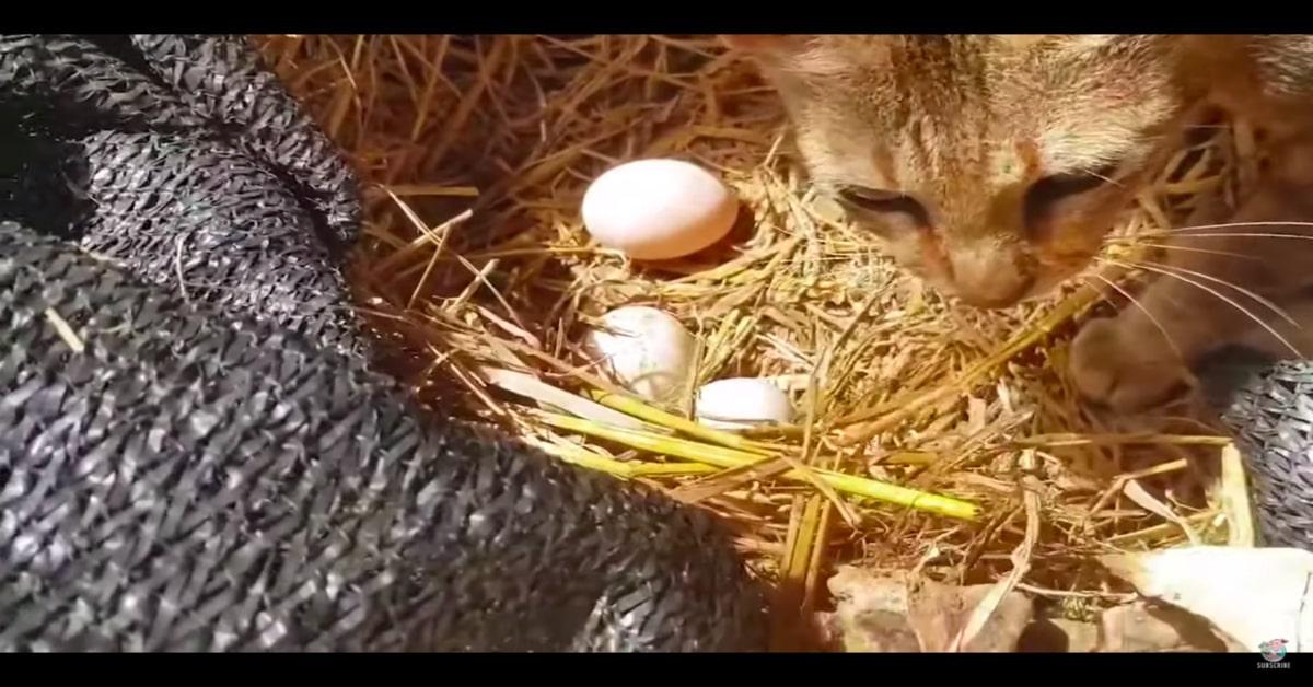 gatto chioccia con le uova