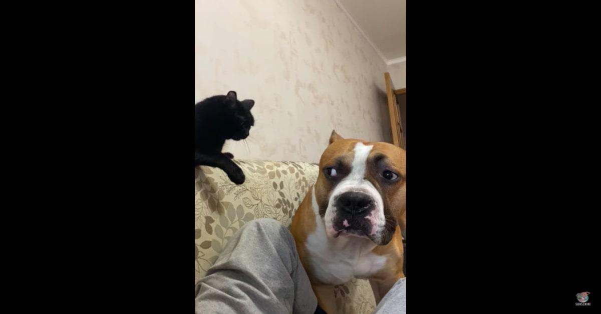 cane vuole far scendere gatto dal divano
