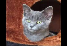 gattina grigia Oreo