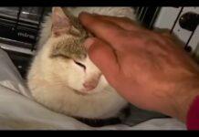 gatto viene accarezzato