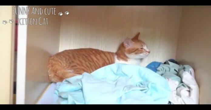gatta rossa