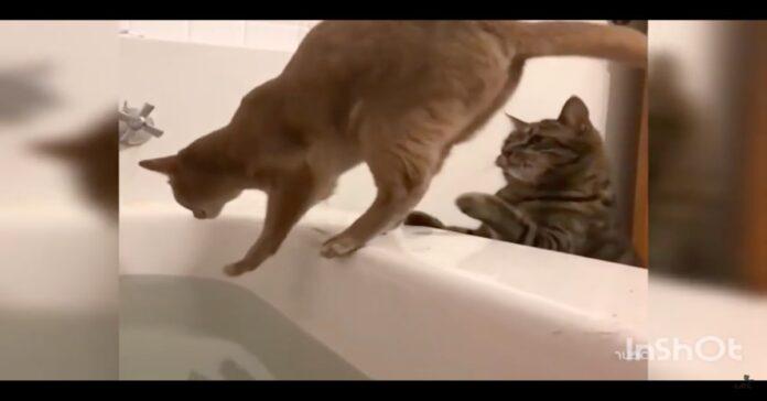 gatto spinge l'amico nella vasca