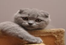 Steamed Bun gattino Scottish Fold video