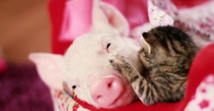 gatto e maiale