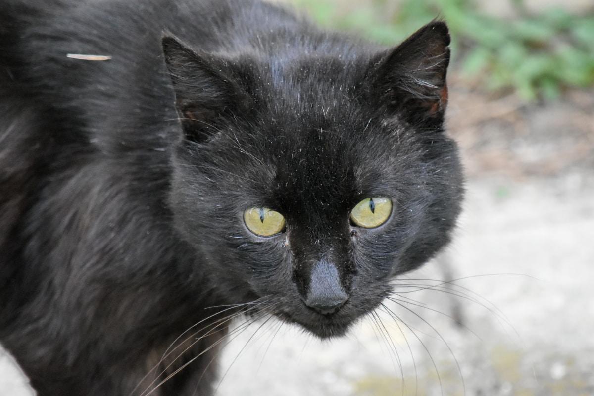gatto nero anziano