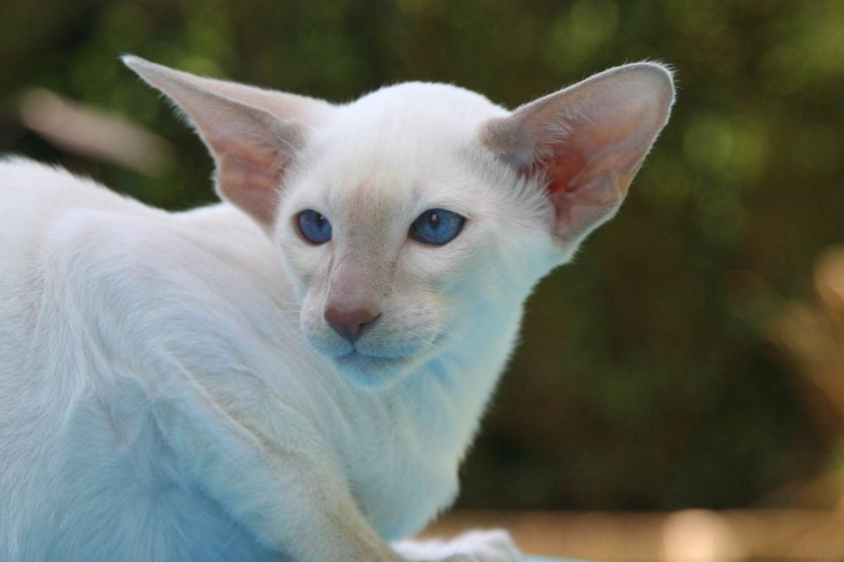 gatto bianco con le orecchie lunghe