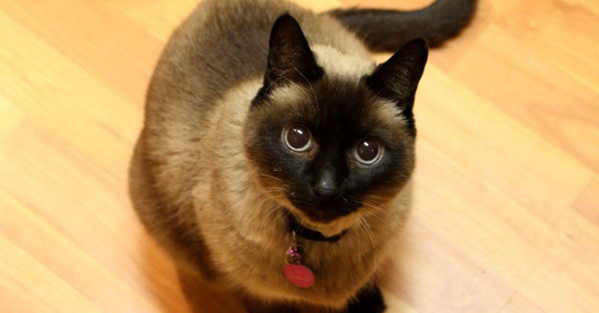 gatto pupille dilatate